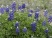 bluebonnet-wildflowers1.jpg