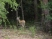 The deer are plenteous, but camera shy!