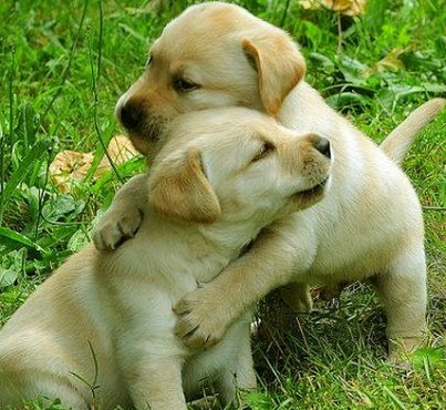 lab puppies hugging